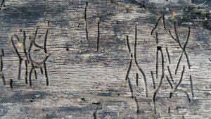 houtwormen bestrijden roosendaal